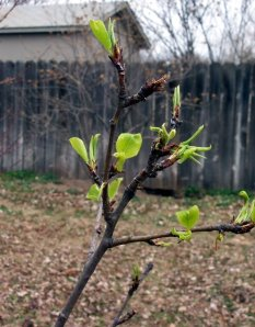 pear tree leaves