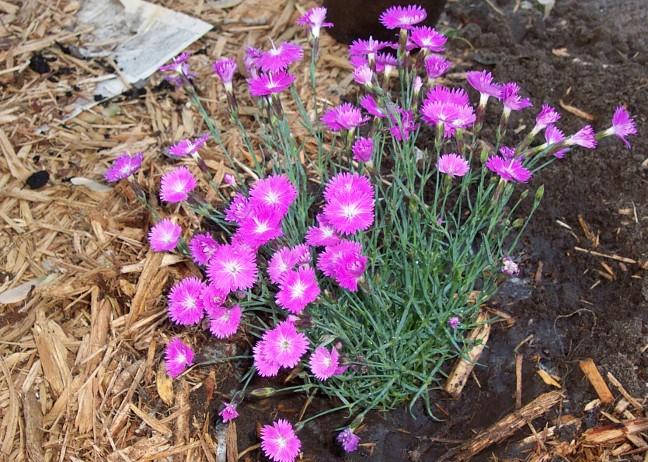 'Firewitch' Dianthus